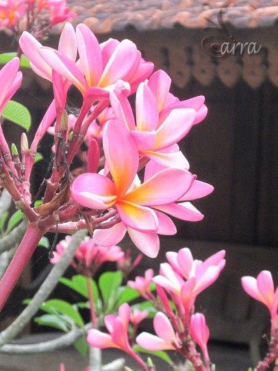 Morning Frangipani